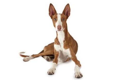 De Spaanse podenco is een van de beste jachthondenrassen