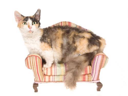Skookum kat op een stoel