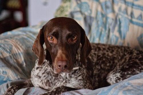 Leer hier meer over staande jachthonden