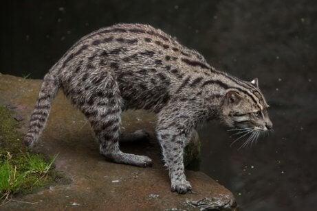 Vissende kat bij het water