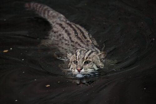 De vissende kat, met uitsterven bedreigd