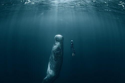 Duiker zwemt naas potvis