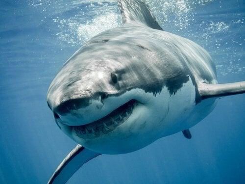 Grote witte haai onder water