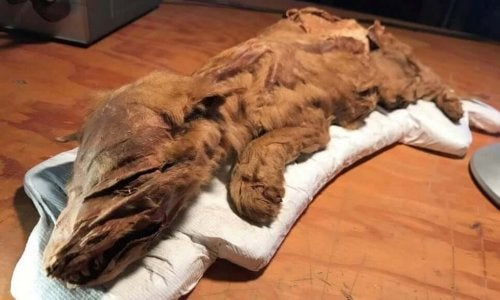 Een gemummificeerde wolvenwelp ontdekt in Canada