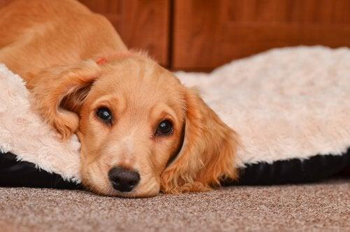 Braken bij een hond: waarschuwingen en behandeling
