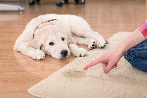 Hond heeft op het tapijt geplast