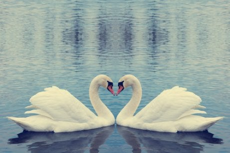 Verliefde zwanen in het water