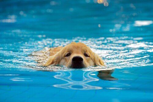 Een hond zwemt in het zwembad