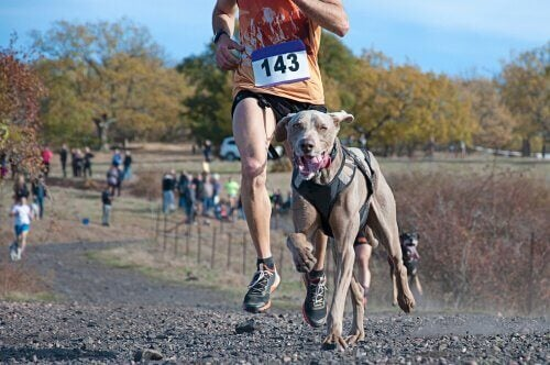 Hond rent tijdens canicross