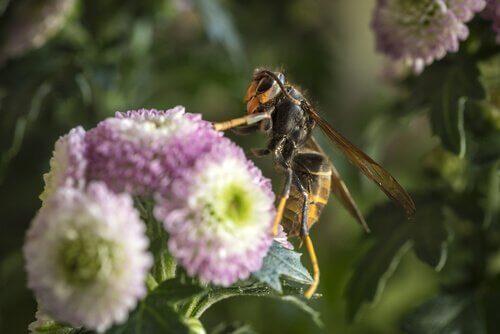 Aziatische hoornaar op een bloem