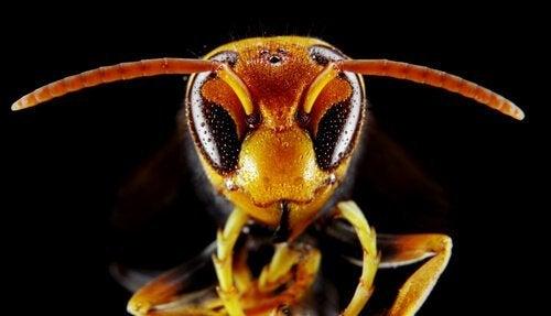 Ontmoet de Aziatische hoornaar, een gevaarlijke wesp