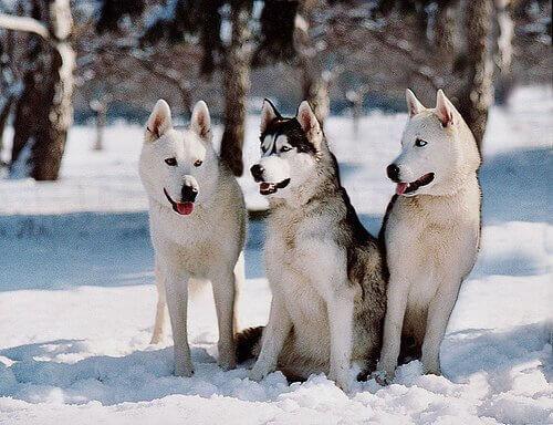 Drie Siberische husky's in de sneeuw