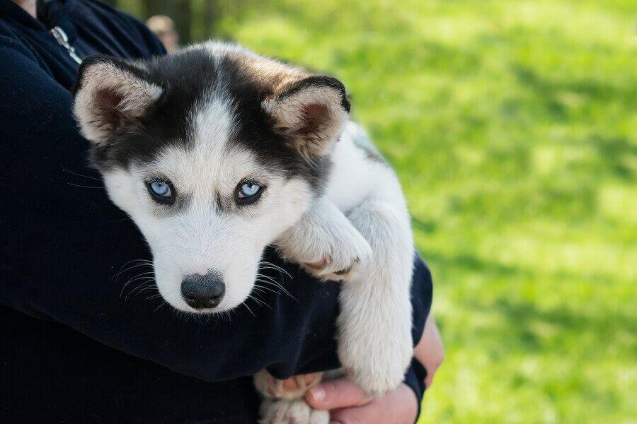 Een huskypuppy wordt vastgehouden