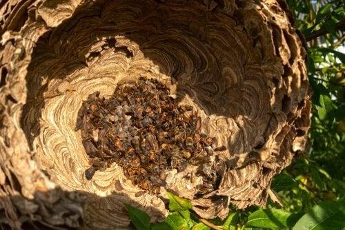 Een Aziatisch hoornaarsnest