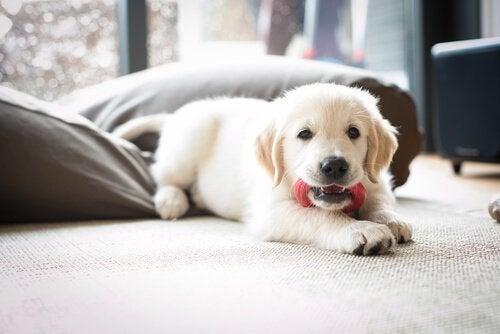 Hoe je je puppy met succes alleen thuis kunt laten