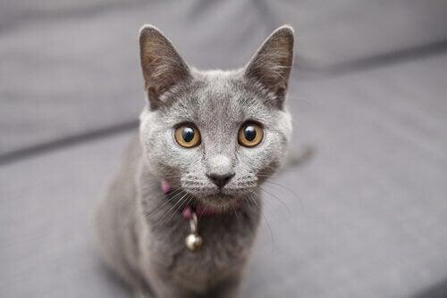 Grijze kat met belletje om zijn nek