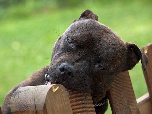 Hond kauwt op houten hek