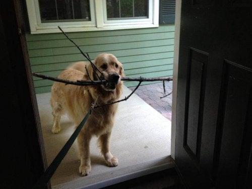 Hond met een bek vol takken