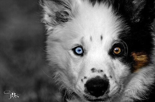 huskypup met twee kleuren ogen