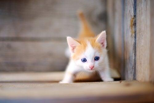 Een kitten die in een houten kist speelt.