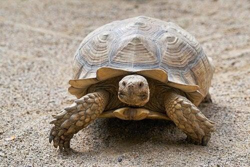 Hoe kun je de leeftijd van een schildpad bepalen?