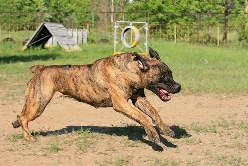 Niet-erkende hondenrassen volgens de FCI