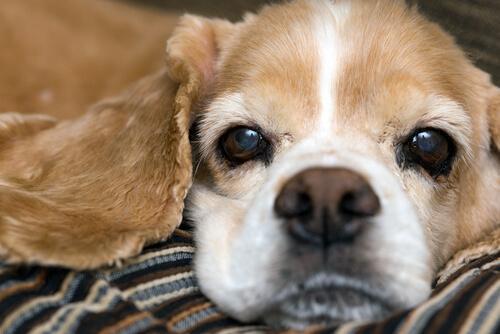 oud hondje op een deken