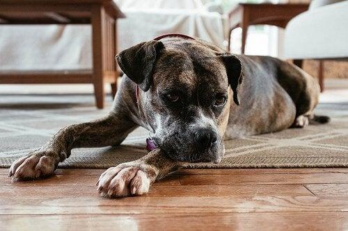 Hond ligt lusteloos op de grond