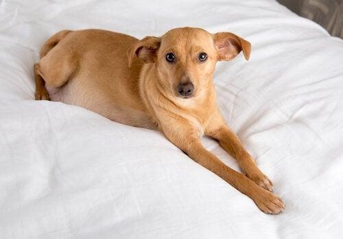 Hond van gemengde rassen die op een bed ligt