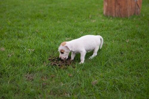 Behandeling voor coprofagie bij honden