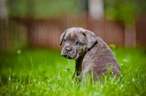 Puppy die in het gras zit