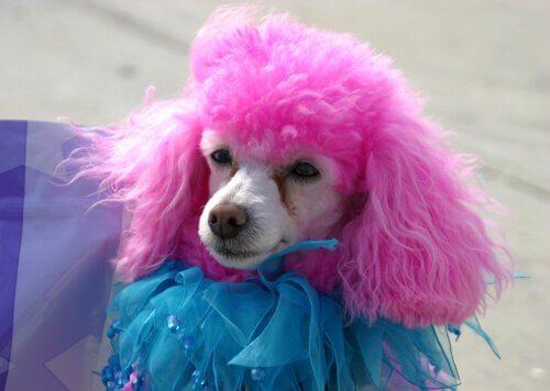 poedel met roze vacht en kleding aan