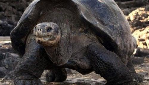Galápagos schildpad lopend