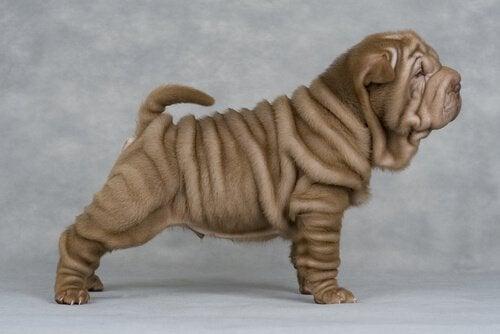 Waarom shar-pei honden zo gerimpeld zijn