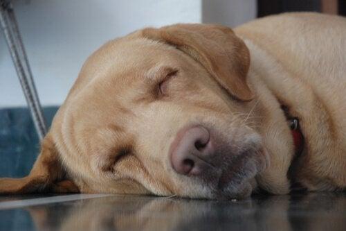 oudere hond slaapt op de grond