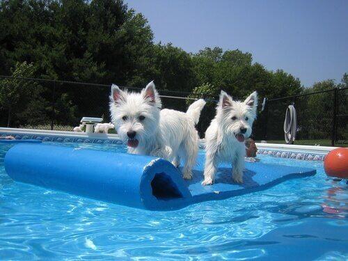 Twee honden op een drijflichaam in een zwembad
