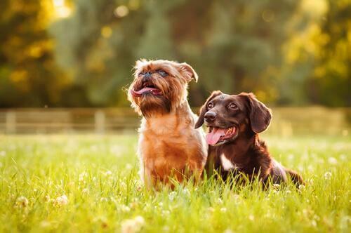 hondjes zitten in het gras