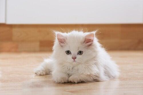 Witte kat ligt op de vloer
