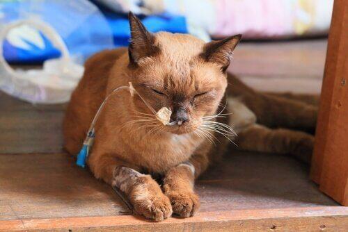 Kat met een infuus