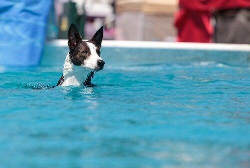 Een hond zwemmend in een zwembad
