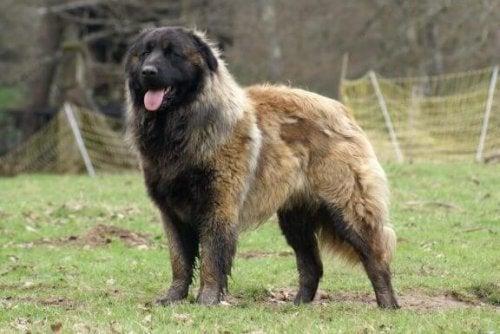 De Estrela berghond: groot en hardwerkend