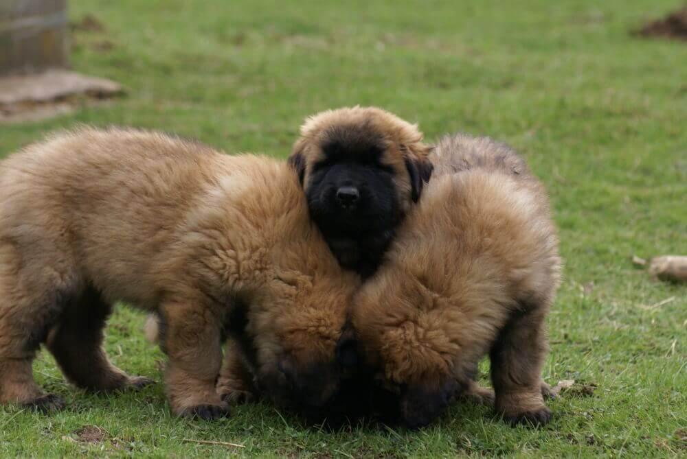 pups in het gras