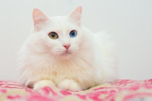 Turkse angora (langharige kattenrassen) liggend op een deken