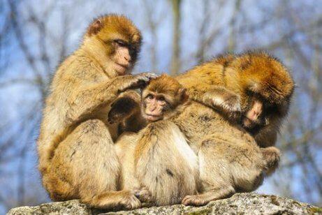 apen verzorgen elkaar