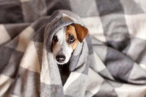 Een coronavirus-infectie bij honden: symptomen en behandeling