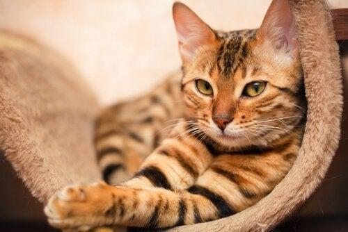 Een cyperse kat ligt in een hangmat