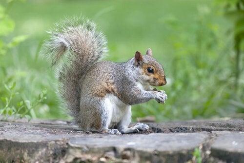 Een eekhoorn knabbelt op een nootje