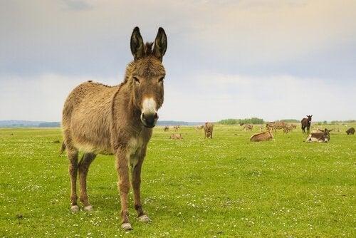 een wei met ezels