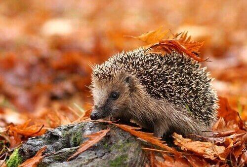 Feiten over egels: leefomgeving, eigenschappen en gedrag