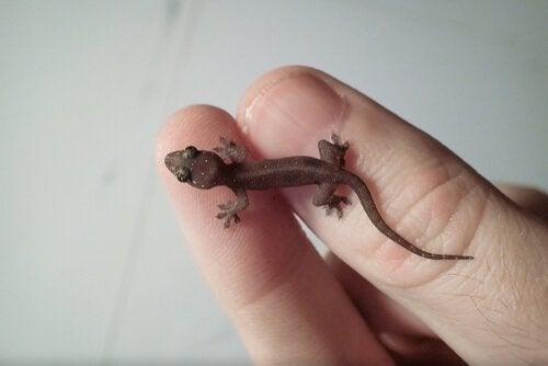 kleine bruine gekko